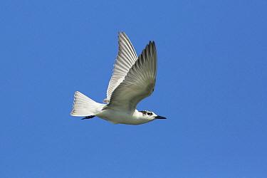 White-winged Black Tern (Chlidonias leucopterus) flying, Victoria, Australia