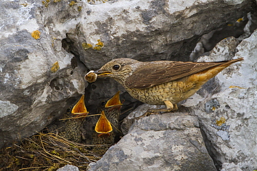 Rufous-tailed Rock-Thrush (Monticola saxatilis) female removing fecal sac from nest, Primorje, Croatia