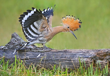 Eurasian Hoopoe (Upupa epops) stretching, Aosta Valley, Italy