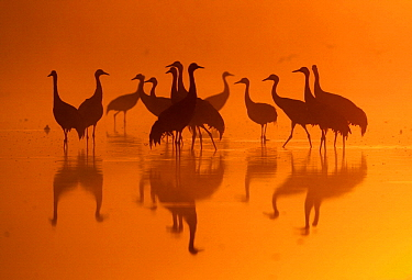 Common Crane (Grus grus) flock at sunrise, Brandenburg, Germany
