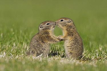 Belding's Ground Squirrel (Spermophilus beldingi) young playing, Oregon