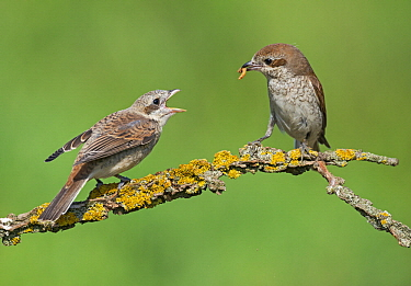 Red-backed Shrike (Lanius collurio) mother feeding fledgling, Aosta Valley, Italy