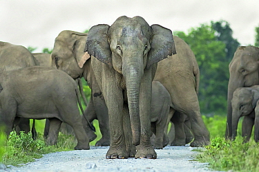 Asian Elephant (Elephas maximus) herd crossing road, West Bengal, India
