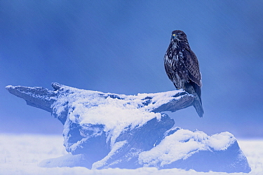 Common Buzzard (Buteo buteo) during snowfall, Saxony-Anhalt, Germany