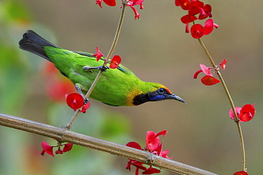Golden-fronted Leafbird (Chloropsis aurifrons), West Bengal, India