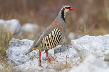 Rock Partridge (Alectoris graeca), Istria, Croatia