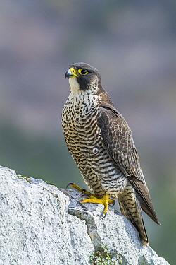 Peregrine Falcon (Falco peregrinus), Istria, Croatia