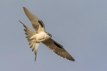 Scissor-tailed Kite (Chelictinia riocourii) flying, Senegal