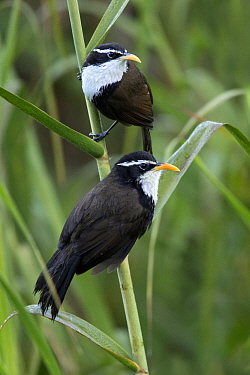 Indian Scimitar-Babbler (Pomatorhinus horsfieldii) pair, Kerala, India