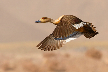 Crested Duck (Lophonetta specularioides) flying, Chile