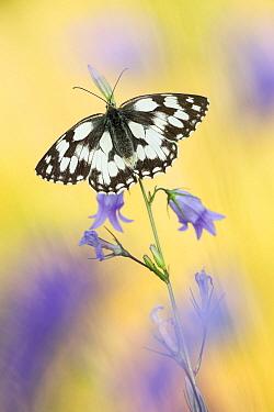 Marbled White (Melanargia galathea) butterfly, Rhineland-Palatinate, Germany