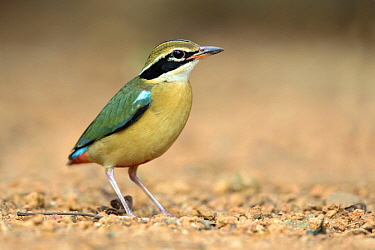 Indian Pitta (Pitta brachyura), Kerala, India