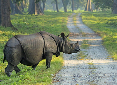 Indian Rhinoceros (Rhinoceros unicornis) crossing road, Jaldapara National Park, India