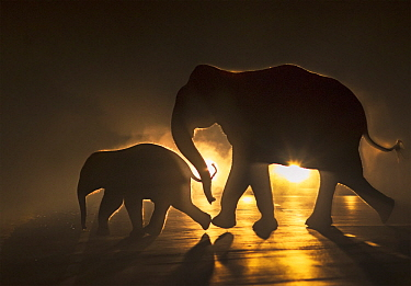 Asian Elephant (Elephas maximus) mother and calf crossing road at night, West Bengal, India