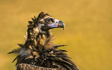 Eurasian Black Vulture (Aegypius monachus), Catalonia, Spain