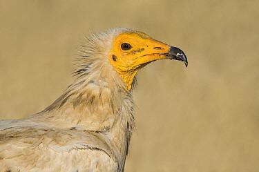 Egyptian Vulture (Neophron percnopterus), Castile-La Mancha, Spain