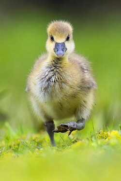 Greylag Goose (Anser anser) chick, Lower Saxony, Germany