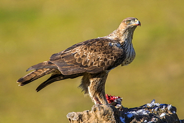 Bonelli's Eagle (Hieraaetus fasciatus) female feeding on prey, Andalusia, Spain