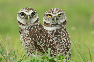 Burrowing Owl (Athene cunicularia) pair, Florida