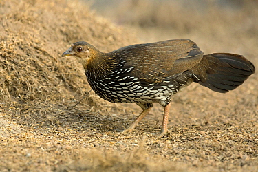 Grey Junglefowl (Gallus sonneratii) female, Kerala, India
