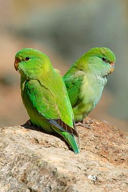 Mountain Parakeet (Bolborhynchus aurifrons) pair, Chile