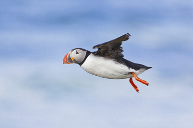 Atlantic Puffin (Fratercula arctica) flying, Iceland