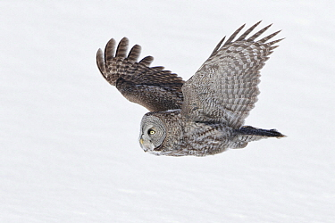 Great Gray Owl (Strix nebulosa) flying, Quebec, Canada