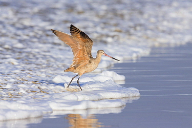 Marbled Godwit (Limosa fedoa) taking flight at surf's edge, California
