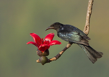 Hair-crested Drongo (Dicrurus hottentottus), West Bengal, India