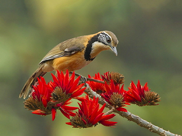 Greater Necklaced Laughingthrush (Garrulax pectoralis), West Bengal, India