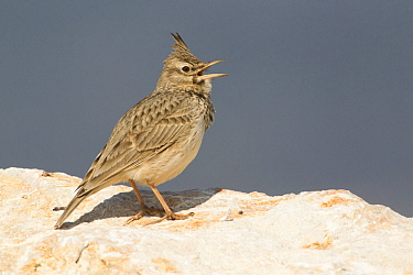 Crested Lark (Galerida cristata) calling, Turkey