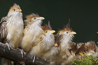 Guira Cuckoo (Guira guira) group huddled together, native to South America