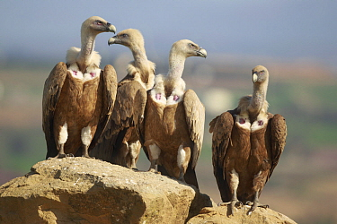 Griffon Vulture (Gyps fulvus) group, Spain