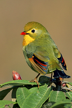 Red-billed Leiothrix (Leiothrix lutea), West Bengal, India