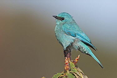 Verditer Flycatcher (Eumyias thalassinus) male, West Bengal, India