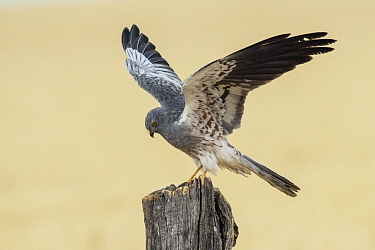 Montagu's Harrier (Circus pygargus) male landing, Andalusia, Spain