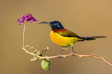 Green-tailed Sunbird (Aethopyga nipalensis) male, West Bengal, India