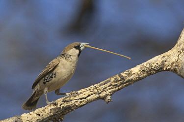 Sociable Weaver (Philetairus socius) carrying nesting material, Etosha National Park, Namibia