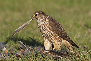 Merlin (Falco columbarius) female feeding on American Robin (Turdus migratorius) prey, Washington