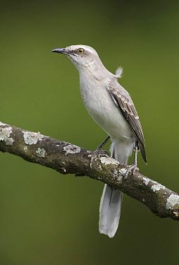 Tropical Mockingbird (Mimus gilvus), Asa Wright Nature Center, Trinidad and Tobago
