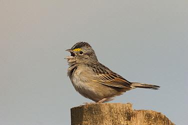 Grassland Sparrow (Ammodramus humeralis) calling, Corrientes, Argentina