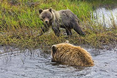 Brown Bear (Ursus arctos) mother swimming near her cub in autumn, Dempster Highway, Yukon, Canada