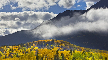Cottonwood (Populus sp) trees on hillsides in autumn with morning mist, British Columbia, Canada