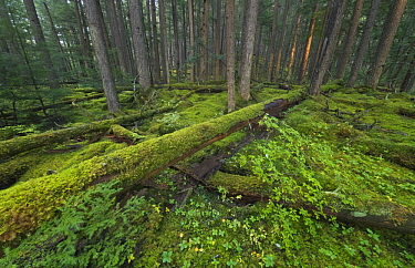 Moss covering trees in temperate rainforest, British Columbia, Canada