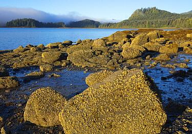Barnacles on rocks at low tide, Graham Island, Haida Gwaii, British Columbia, Canada