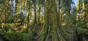 Temperate rainforest, Graham Island, Haida Gwaii, British Columbia, Canada