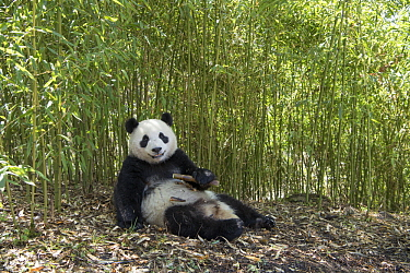 Giant Panda (Ailuropoda melanoleuca) feeding on bamboo, Wolong Nature Reserve, Sichuan, China