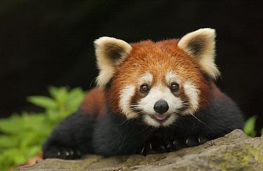 Lesser Panda (Ailurus fulgens), Wolong Nature Reserve, Sichuan, China