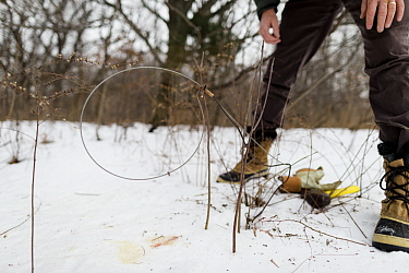 Coyote (Canis latrans) biologist, David Drake, placing cable restraint for collaring along game trail in nature preserve near University of Wisconsin-Madison, Madison, Wisconsin