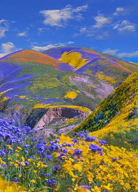 Phacelia (Phacelia sp) and Hillside Daisy (Monolopia lanceolata) flowers, superbloom, Temblor Range, Carrizo Plain National Monument, California